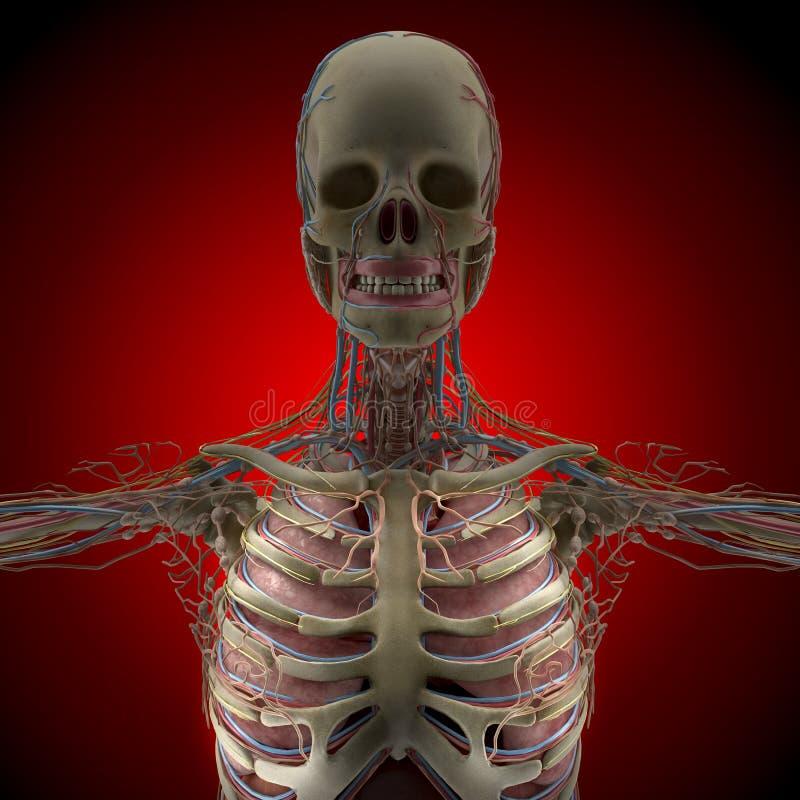 Der menschliche Körper (Organe) durch Röntgenstrahlen auf rotem Hintergrund stock abbildung
