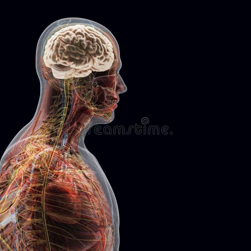 Der menschliche Körper (Organe) durch Röntgenstrahlen auf schwarzem Hintergrund vektor abbildung
