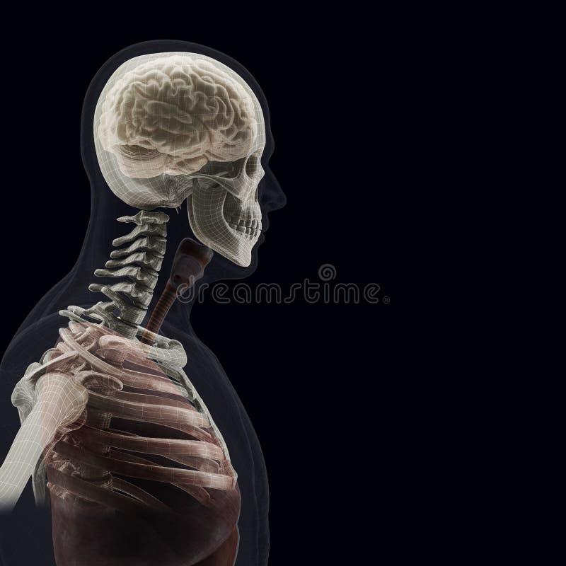 Der menschliche Körper (Organe) durch Röntgenstrahlen auf schwarzem Hintergrund stock abbildung