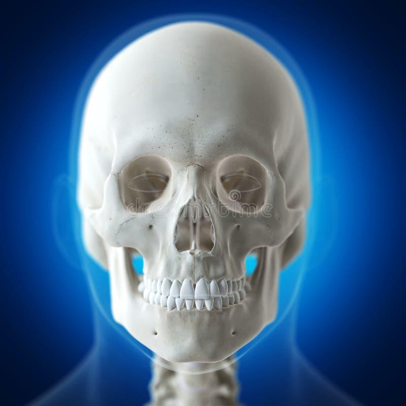 Der menschliche Schädel stock abbildung