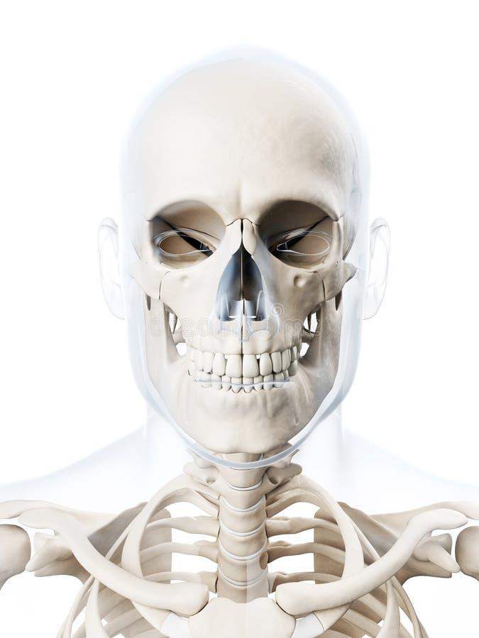 Ausgezeichnet Anatomie Und Physiologie Des Schädels Bilder ...