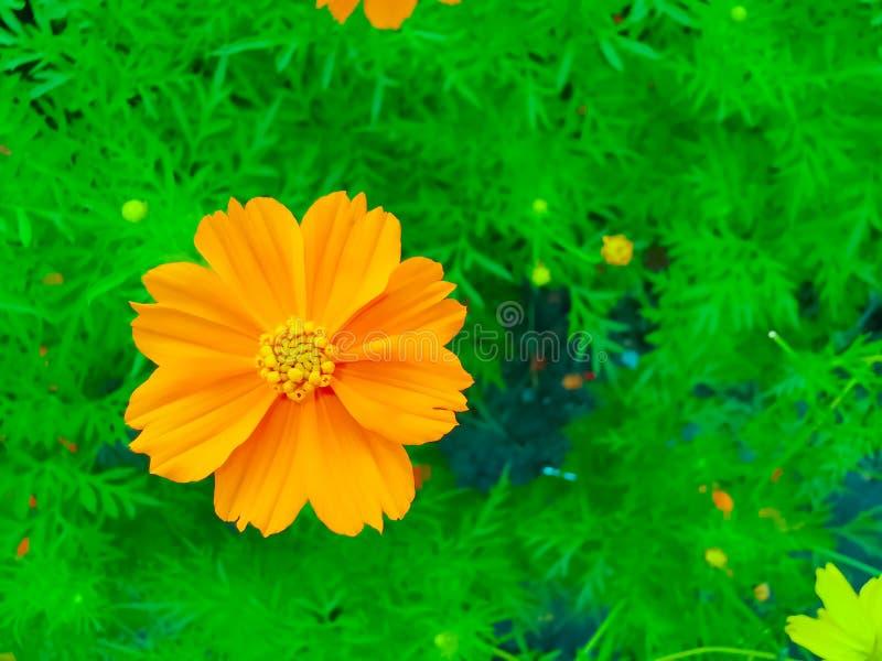 In der Nähe der mexikanischen Aster- oder Orangenblume blühen wunderschöne Blumen im Garten, Natur-Hintergrund lizenzfreie stockbilder