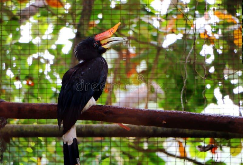 Der Nashorn Hornbill Buceros-Nashornvogel stockfotos