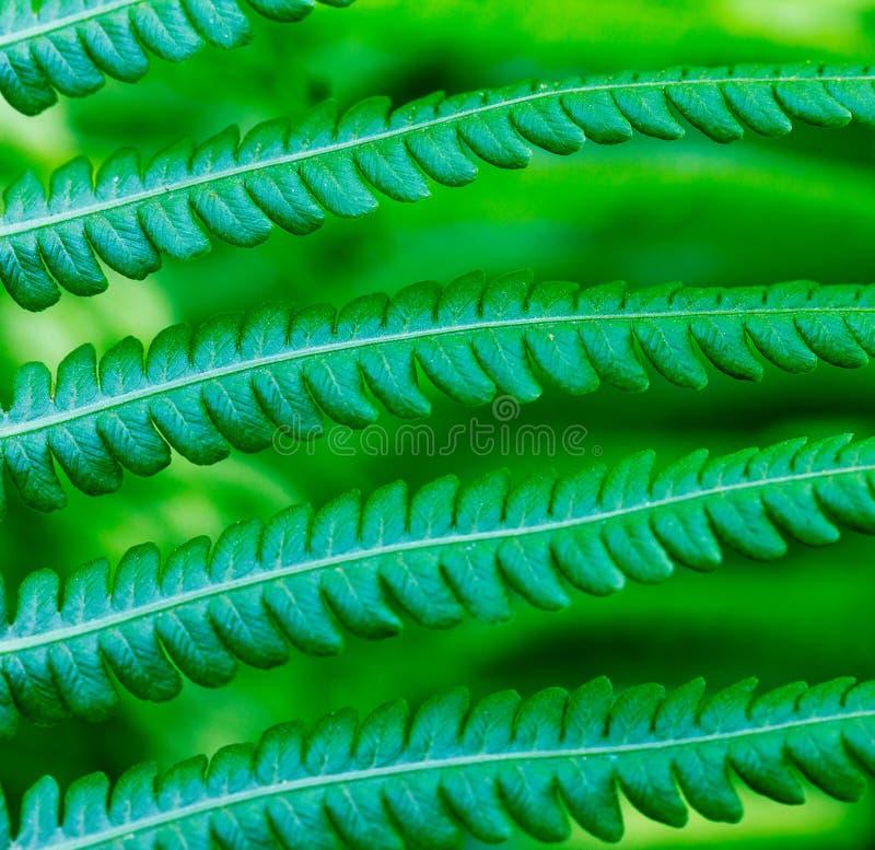 Der natürliche Hintergrund des Blattfarns stockfotografie