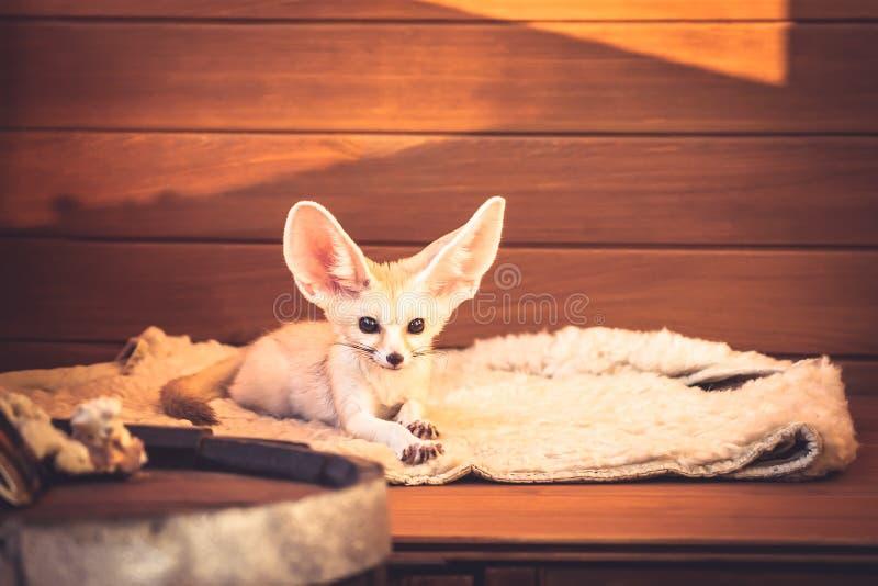 Der nette Haustierfuchs, der auf weichem Bettwäschegefühl liegt, mögen eine Königin im Luxushotel lizenzfreie stockbilder