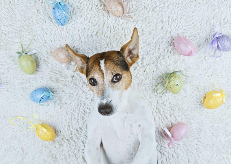 Der nette Hund, der zurück auf weißer Wolldecke mit Ostern liegt, malte Eier stockfotografie