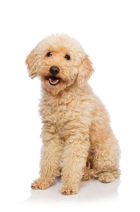 Der nette Pudelhund lokalisiert auf Weiß stockfotos
