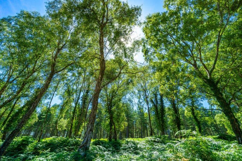 Der New Forest National Park Im Sommer mit den hellen grünen Bäumen und dem blauen Himmel lizenzfreies stockfoto