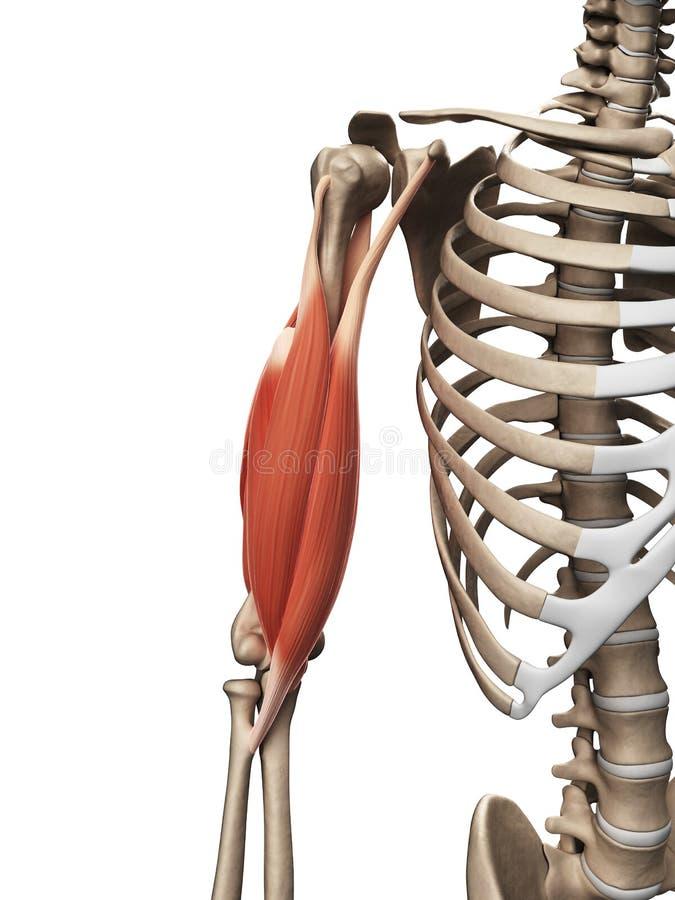 Der Oberarmmuskel stock abbildung. Illustration von anatomie - 34164284