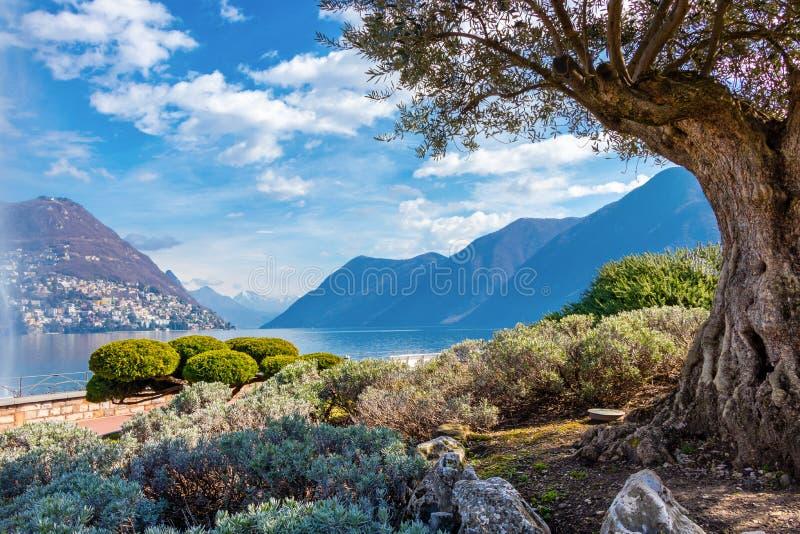 Der Olivenbaum in der Stadt von Lugano auf dem Ufer von See Lugano in der Schweiz lizenzfreies stockbild