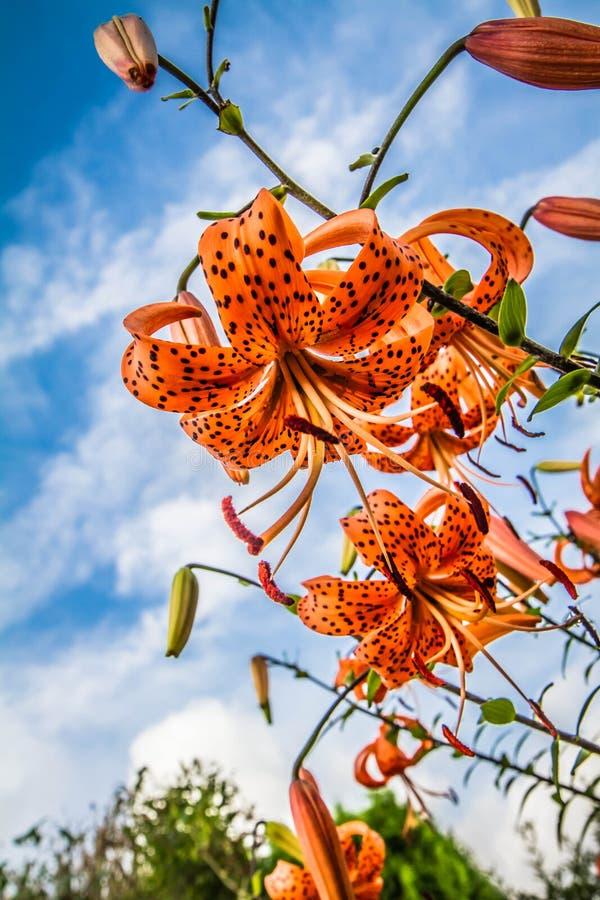 Der Orange Blumen tigerlily lizenzfreie stockbilder