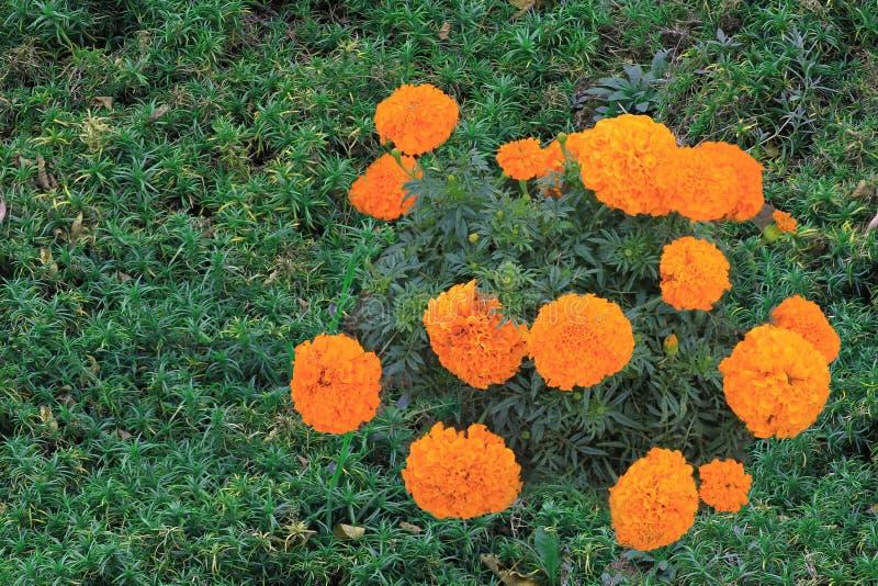 Der orange Gartennelkenbusch wird im Sonnenschein eines Sommertages gebadet Zine-Blume würdevoll auf einem lokalisierten grünen H stockfotografie