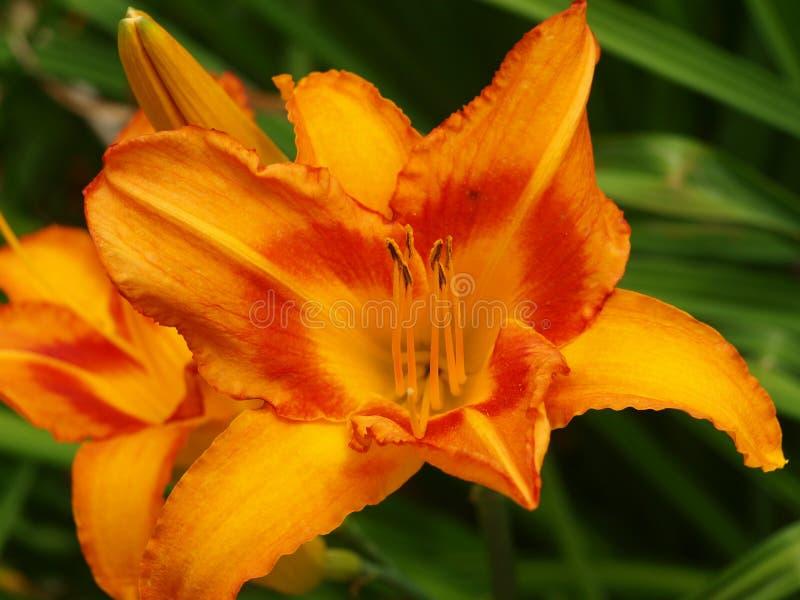 Der Orangen-, Rote oder Gelbesterngucker Lily Shines stockbild