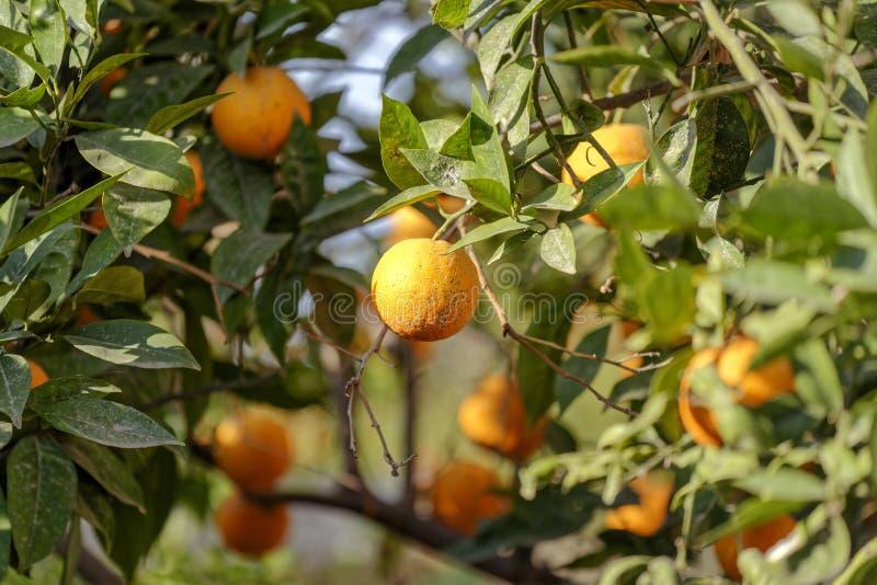 Der Orangenbaum lizenzfreies stockbild