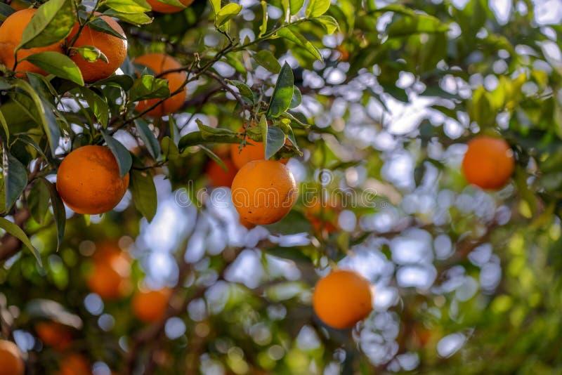 Der Orangenbaum stockbild