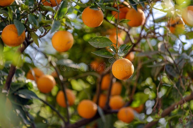 Der Orangenbaum lizenzfreies stockfoto
