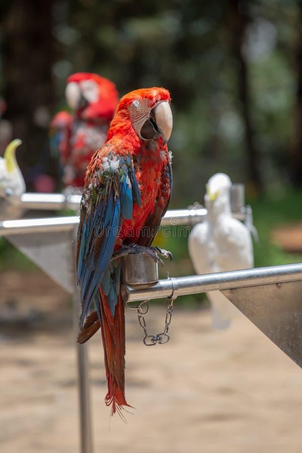 Der Papagei ist ein Vogel mit vielen Federn und ein geliebt Typische kletternde V?gel, Zehe-f?rmige F??e, zwei Zehen vorw?rts und lizenzfreie stockfotografie