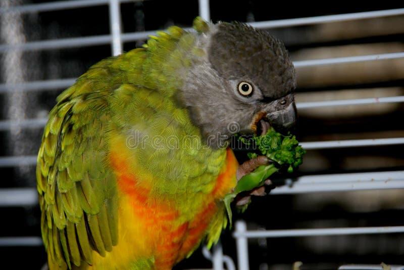 Der Papagei von Senegal isst Brokkoli stockbild