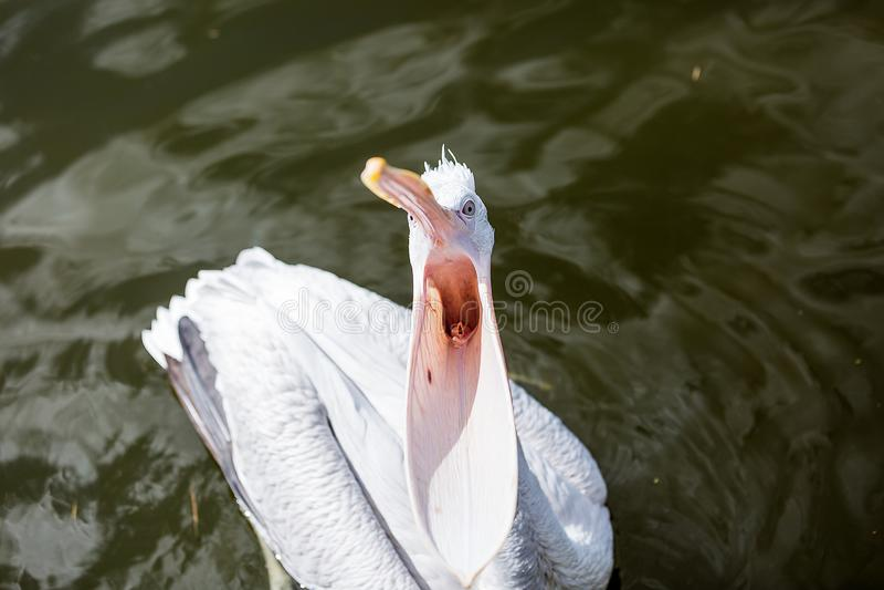 Der Pelikan öffnete seinen Schnabel und das Bitten um Lebensmittel von den Touristen lizenzfreie stockfotos
