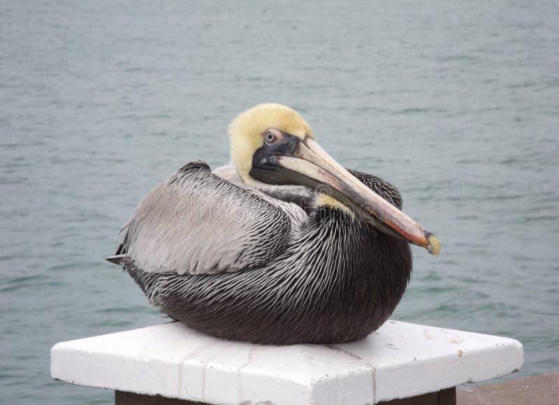 Der Pelikan lizenzfreie stockfotos
