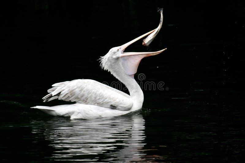 Der Pelikan schluckt einen Fisch