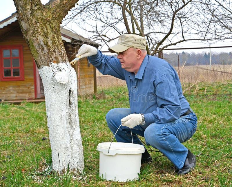 Der Pension?r wird den Stamm eines Apfelbaums an der Datscha wei? Mann, der mit Garten-Pfl?ger arbeitet stockfotografie