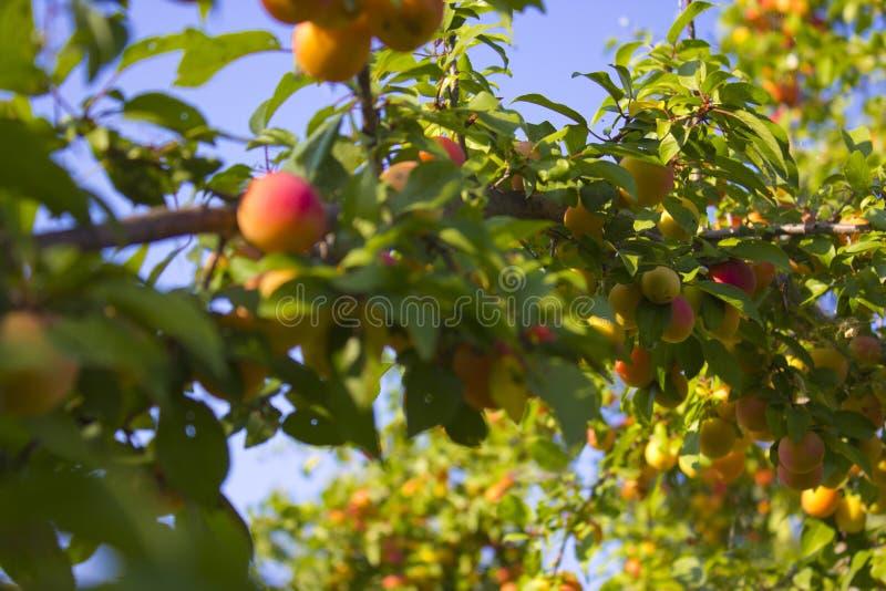 Der Pfirsichbaum lizenzfreie stockfotografie
