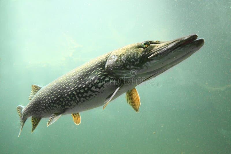Der Pike (Esox Lucius) stockbilder