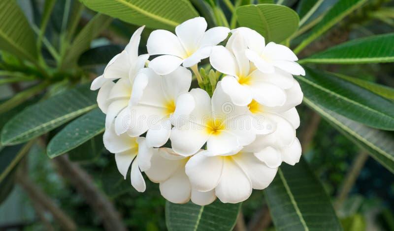 Der Plumeria-Blumenstrauß lizenzfreie stockfotos