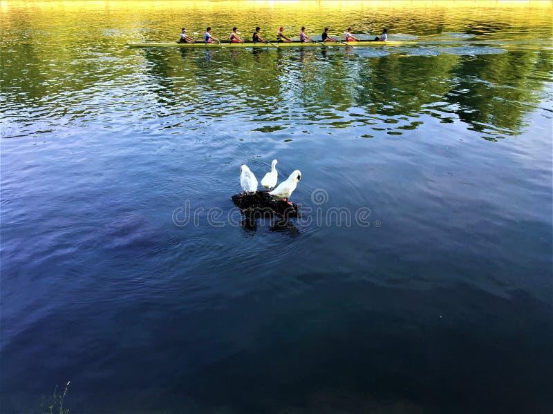 Der Po, weiße Enten und Rudersport in Turin-Stadt, Italien lizenzfreie stockfotos