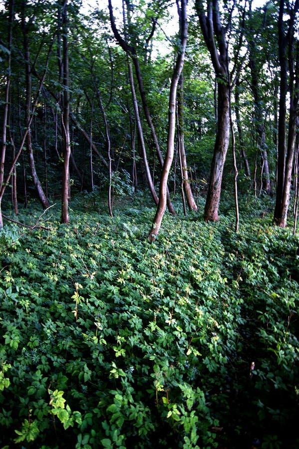 Download Der polnische Wald stockfoto. Bild von wald, stumpf, gewürz - 90235032