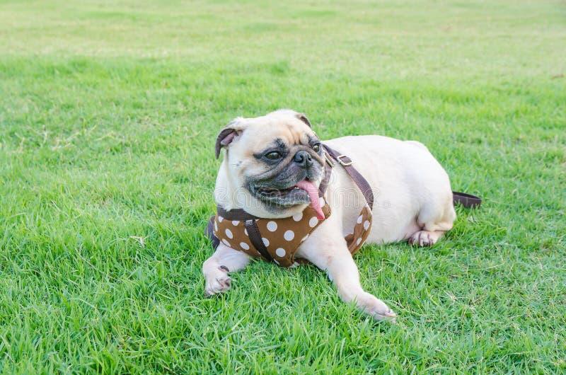 Der Pug-Hundesitzende Rest Welpe des Kitzes netter auf Rasenfläche stockfotos