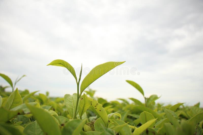 Der Rand des Tees lizenzfreie stockbilder