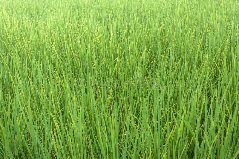 Der Reis auf dem Gebiet stockbild