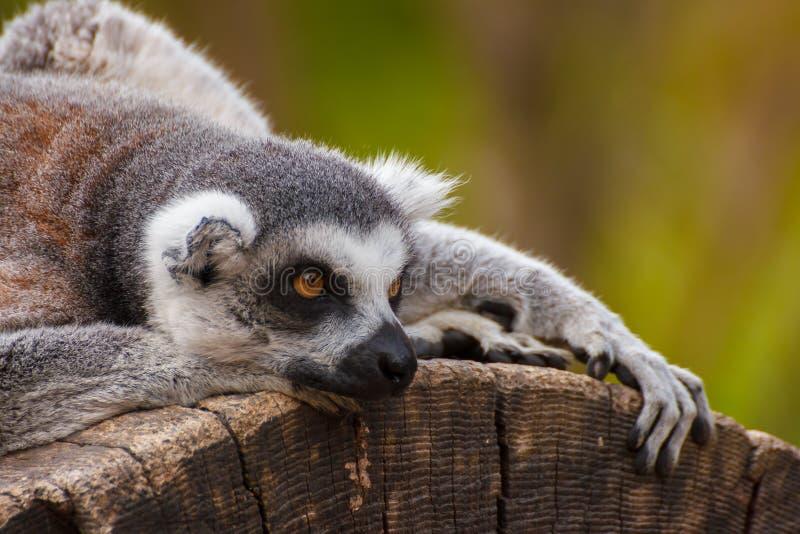 Der Ring-tailed Lemur lizenzfreies stockbild