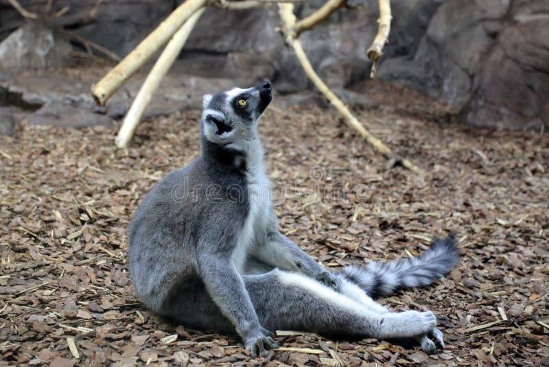 Der Ringschwanzlemmur - Lemur Catta stockbilder