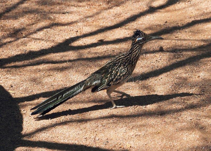 Der Roadrunner, ein Wüstenvogel lizenzfreie stockfotografie