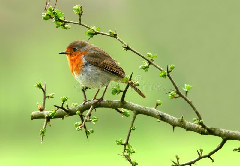 Der Robin lizenzfreie stockbilder