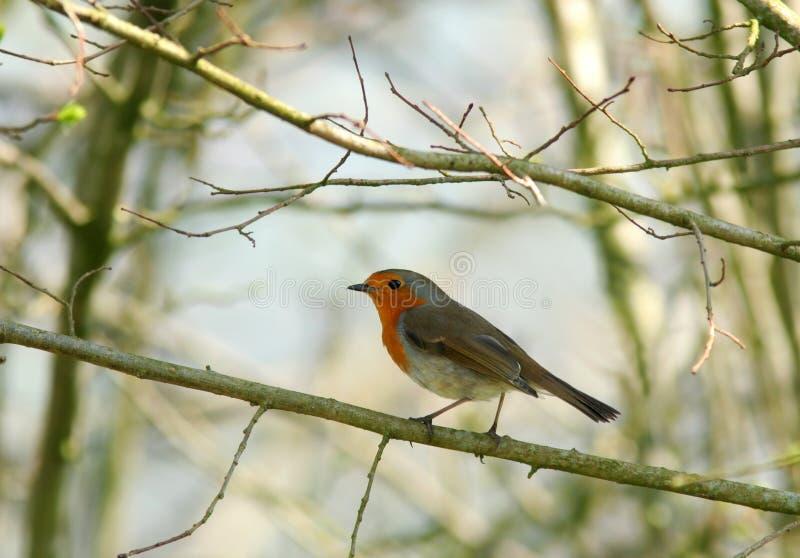 Der Robin stockbilder