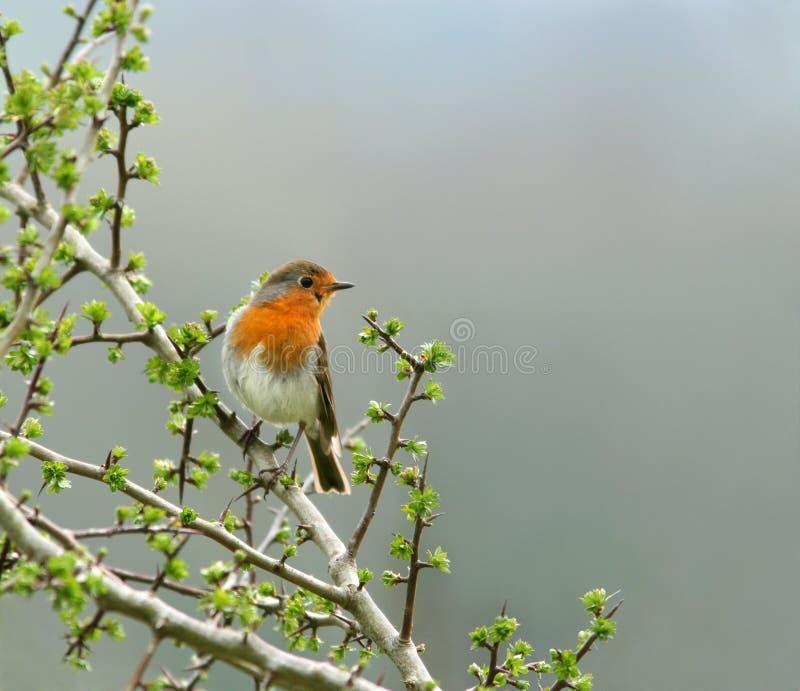 Der Robin stockfoto
