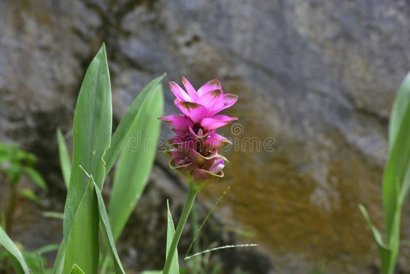 Der rosa Blumengarten hat angefangen zu blühen Natürlich schaut das schön stockfotografie