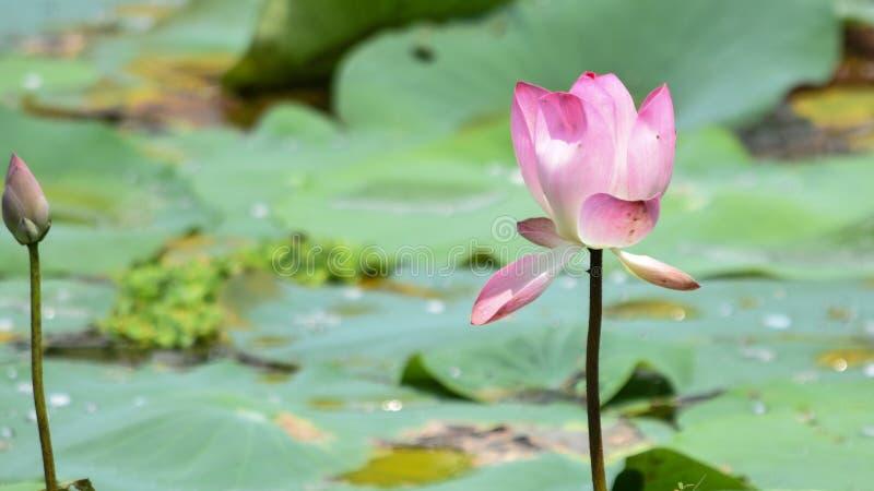 Der rosafarbene Lotos stockbilder