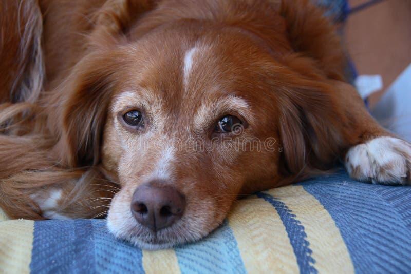 Der rote Hund stockbilder