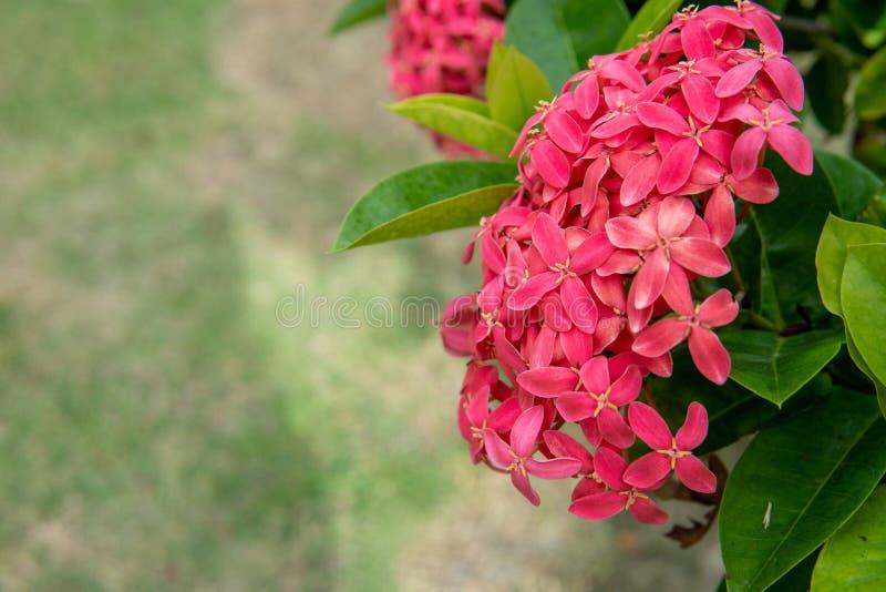 Der rote ixora Blumenstrauß wird als Zaun neben dem Rasen gepflanzt stockfoto