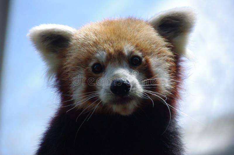 Der rote Panda mit einem wunderbaren Blick lizenzfreie stockfotos