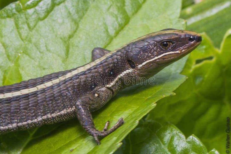 Der Salamandra in ihrem Lebensraum stockfotografie