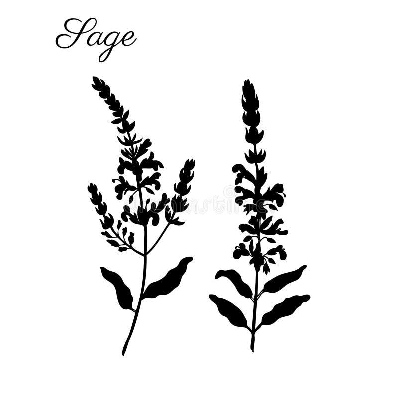 Der Salbei blüht Vektor lokalisiert auf weißem Hintergrund, Hand gezeichnete heilende Kräuter, Schattenbildillustration salvia of stock abbildung