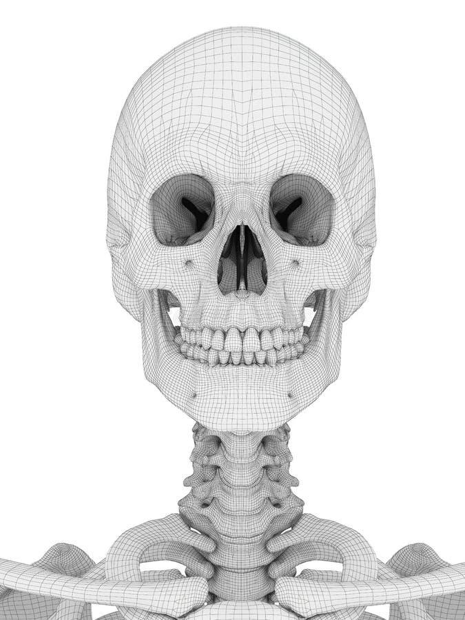 Der Schädel stock abbildung