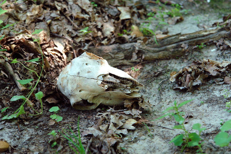 Der Schädel eines großen Tieres lizenzfreies stockbild