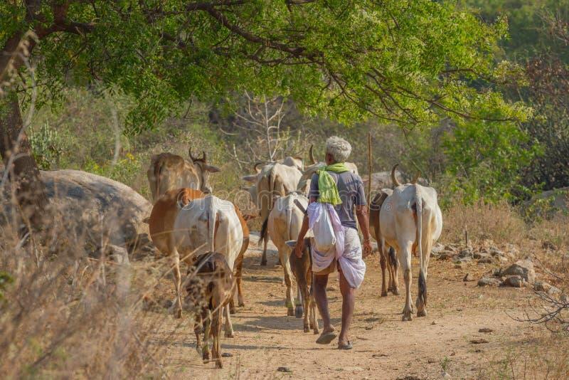 Der Schäfer lässt Kühe in der Steppenregion weiden Indische Leute in der traditionellen Kleidung Hampi, Karnataka, Indien lizenzfreies stockbild